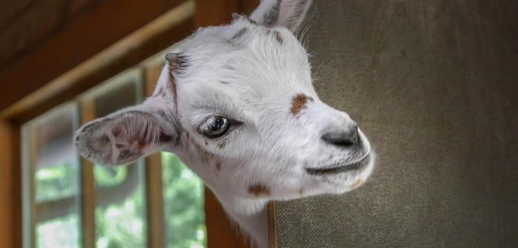 goat-2153622_1920