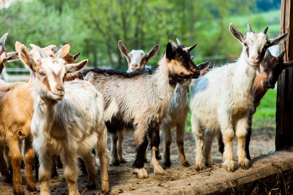 kozi nabiał ekologiczny