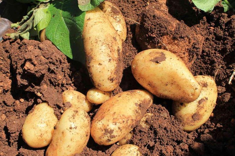 Produkt Ziemniaki młode (EKO) - zdrowa żywność blisko Ciebie