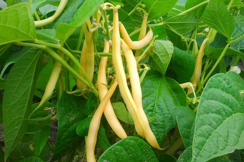 Produkt Fasola żółta szparagowa - zdrowa żywność blisko Ciebie