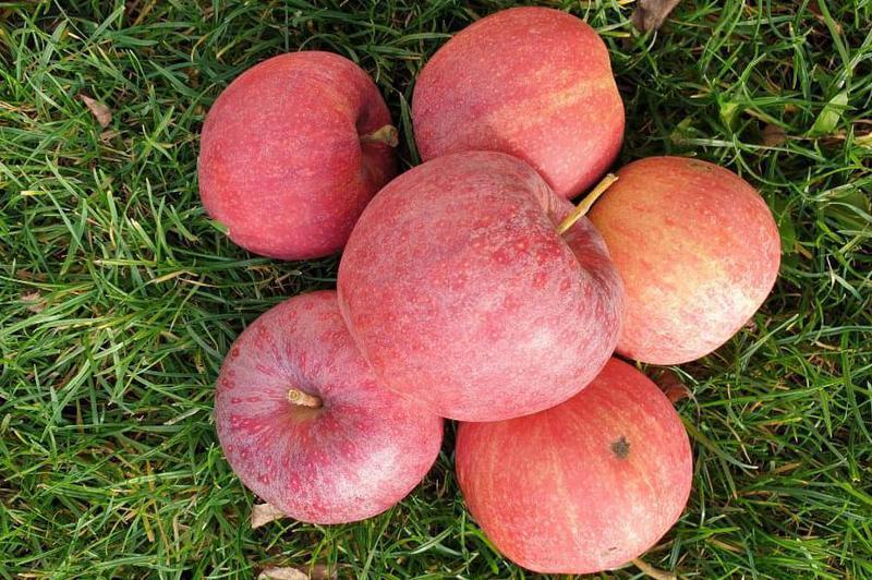 Produkt Jabłka Gala {EKO} - zdrowa żywność blisko Ciebie