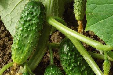 Produkt Ogórki gruntowe - zdrowa żywność blisko Ciebie