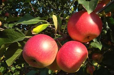 Produkt Jabłka Rubinola - zdrowa żywność blisko Ciebie