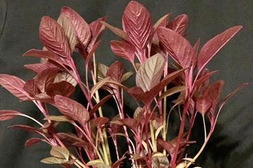 Produkt Amarantus młode listki - zdrowa żywność blisko Ciebie