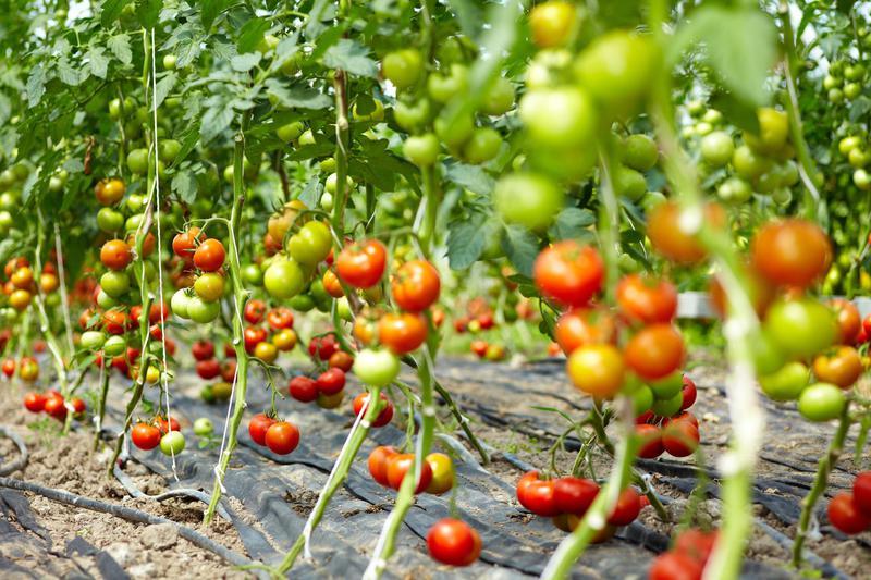 Produkt Pomidor żółty - zdrowa żywność blisko Ciebie
