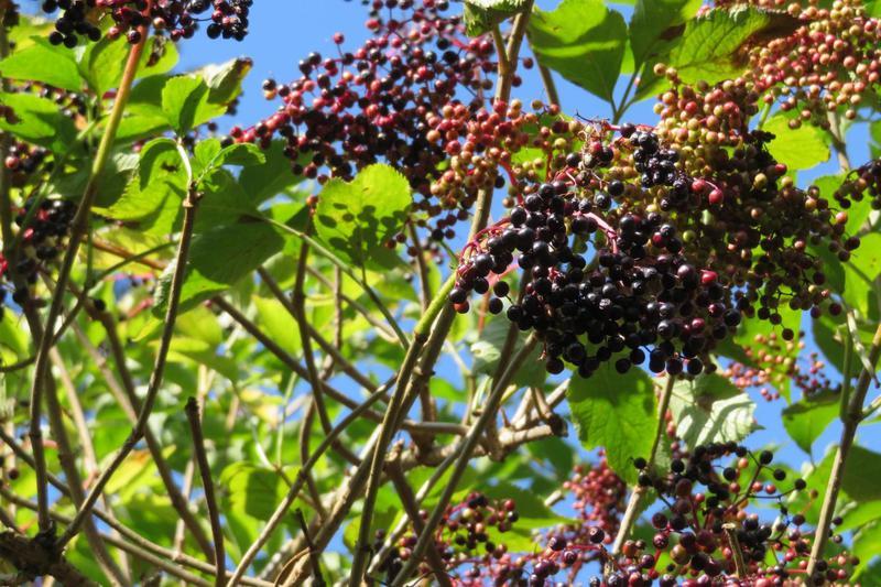 Produkt Suszone owoce czarnego bzu - zdrowa żywność blisko Ciebie